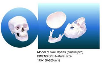 skull 3parts