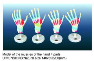 hand 4 parts