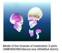 mastication 3 parts