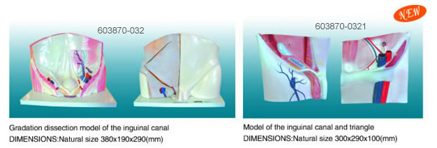 Modelof the inguinal canal