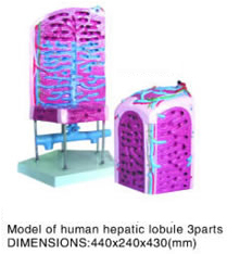 hepatic lobule