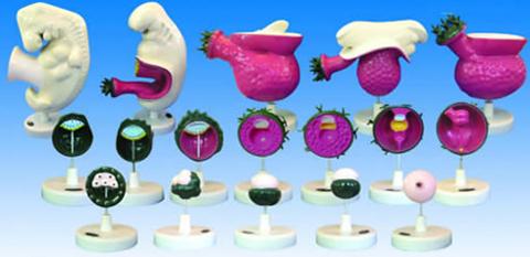 Human embryo model