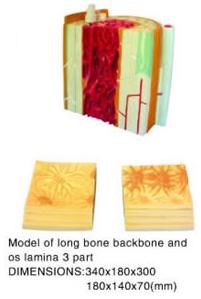 bone backbone