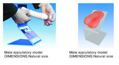 Male ejaculatory model