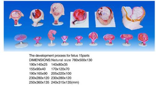 fetus 15 parts