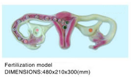 Fertilization model