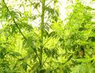 Artemisia annua P.E.