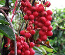 Schisandra sphenanthera Extract  Schisandrin