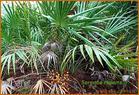 Serenoa repens Extract Saw Palmetto Berry P.E.