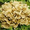 Maiitake Mushroom P.E Grifola Frondosa P.E.polysaccharides