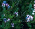 Vaccinium myrtillus P.E. Bilberry Extract Powder Anthocyanid
