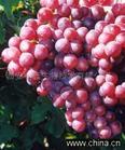 Cassia nomame(Sieb)Honda P.E.Flavanol 8% UV