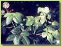 Siberian Ginseng P.E.