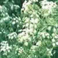 Hemlock Parsley Oil