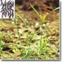 Cyperus rotundus Linn Oil