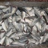 Horse Mackerel HGT