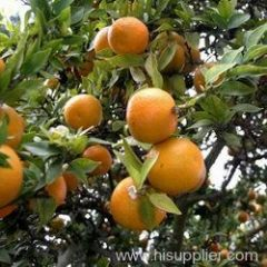 Citrus aurantium P.E.Citrua aurantium.Synephrine 4%,6%,10%,30% HPLC