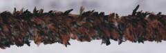 Cock Feather Boas