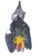 Lady Amhurst Pheasant