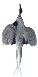 Sliver Pheasant