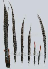 Lady amhurt tail feathers