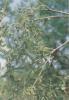 White Willow Bark P.E