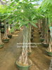 Pachira Macrocarpa ( Good Fortune Tree)