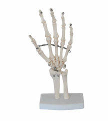 Life-Size Hand Joint with ligaments Demonstrate