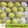 Shandong pear,green crip pear