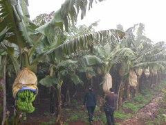 Banana protective bag