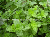 Mentha Spearmint Oil