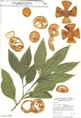 Citrus aurantium P.E.