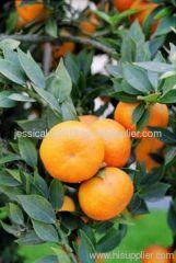 Citrus aurantium L