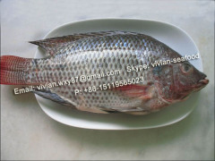 frozen tilapia fish whole round seafood W R WE