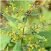 Holy Herb Extract, Darutoside