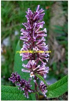 Buddleja Officinalis Extract