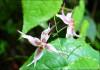 Epimedium Plant Extract