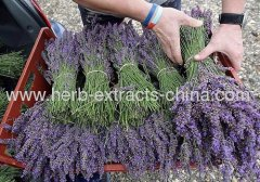 Sedative Aroma Essential Oil Lavandula China type Direct