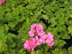 Pelargonium graveolens greenish geranium essential oil HPLC