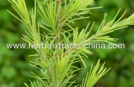 Cedarus deodora Cedarwood HimalayanEssential Oil Pure Material Pest Repellent