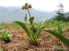 Bornyl acetate Valeranone Hair Growth Healing Essential Oil