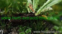 1000ml Nard Root Essential Oil