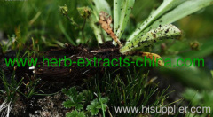Muskroot Essential Oil Pure Wildcrafted