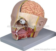 Human Head with Brain