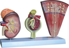 Model of KIdney, Nephron and Glomerulus