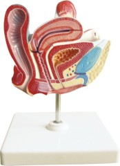 Model of Female Bladder Section