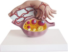 Model of Ovary