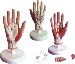 Dissection Model of Hand