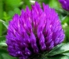 Red Clover Extract Powder