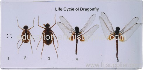 Life Cycle of Dragonfly China Life Cycle of Dragonfly